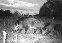 Чорнобильські звірі